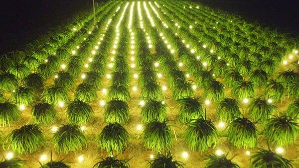 Đèn led trong nông nghiệp - trồng thanh long