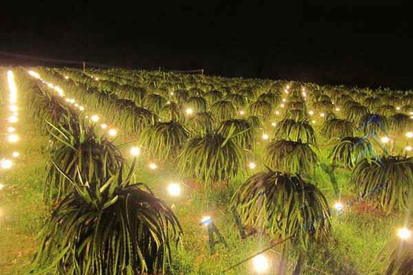 Ứng dụng điện mặt trời trồng thanh long