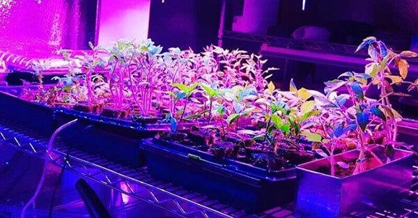 Ánh sáng nhân tạo giúp cây phát triển tốt